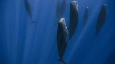 Great Whales: Up Close and Personal